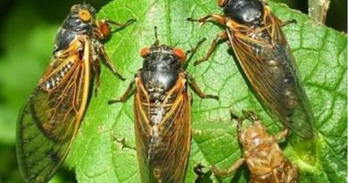 تثير ضوضاء هائلة.. حشرات اختبأت 17 عاما تستعد لاجتياح أميركا